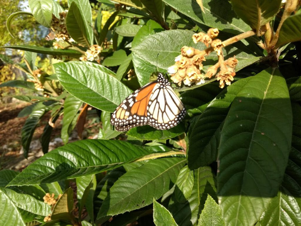 monarch butterfly drinks of the loquat flower's nectar