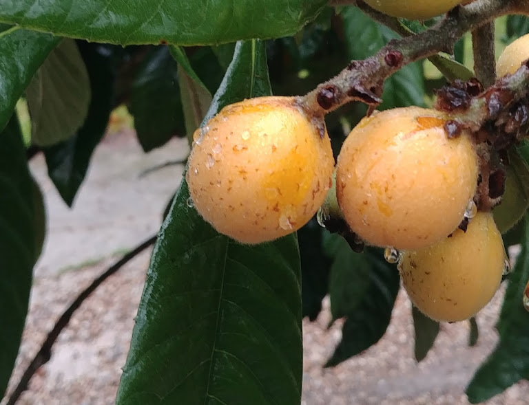 wet and glistening loquats. so sultry.